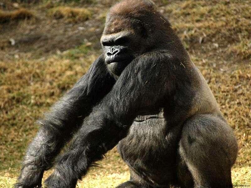 Кто сильнее горилла или медведь-2
