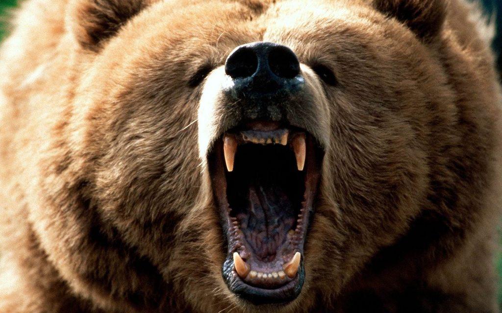 Кто сильнее: горилла или медведь-3