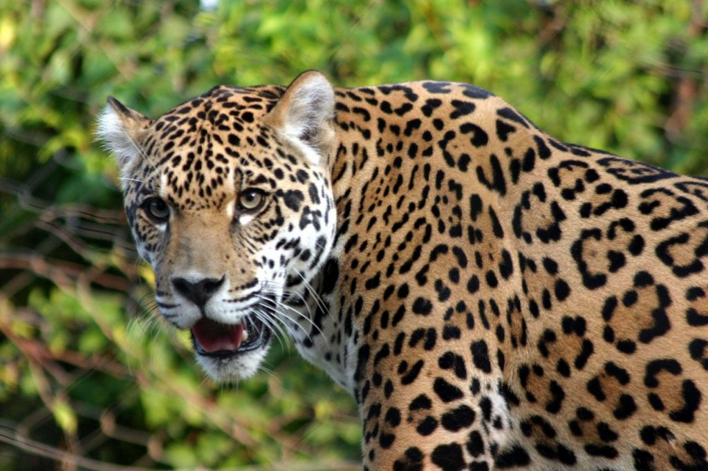 Леопард или ягуар кто сильнее-2