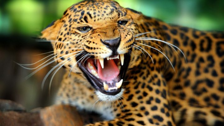 Леопард или ягуар кто сильнее-3