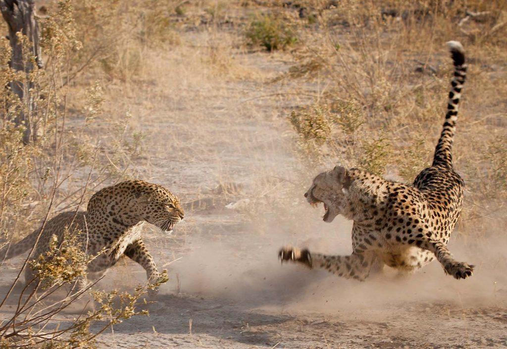 Леопард или ягуар кто сильнее-4