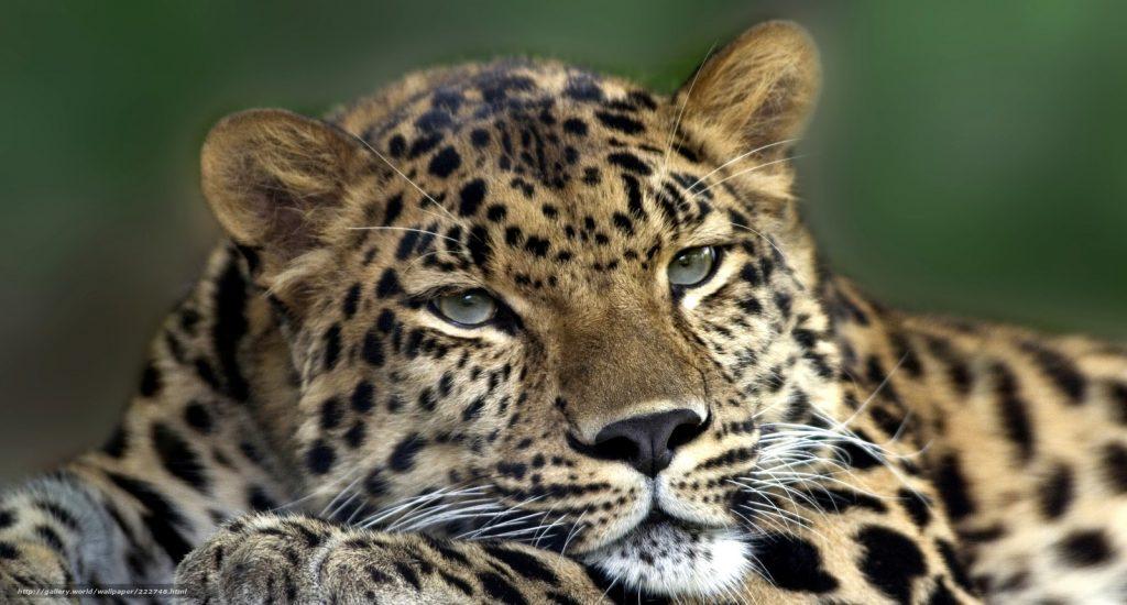 Леопард или ягуар кто сильнее